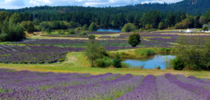 lavender-farms-san-juan-island